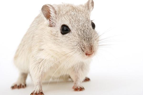 En vit liten mus.