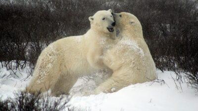 isbjörnar kan komma att försvinna