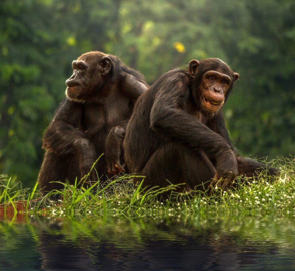gamla schimpanser gillar sina vänner.