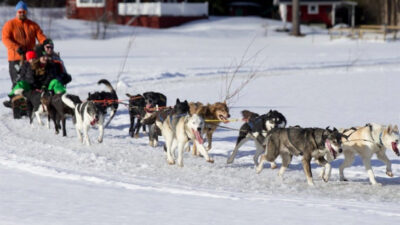 Ett foto på flera hundar som drar en släde. På släden sitter det människor.