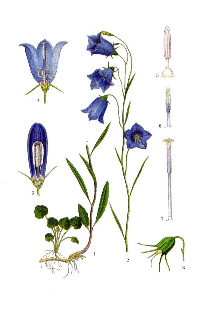 Illustration av liten blåklocka