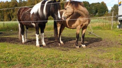Ponnyerna Tom och Gerry i hagen.