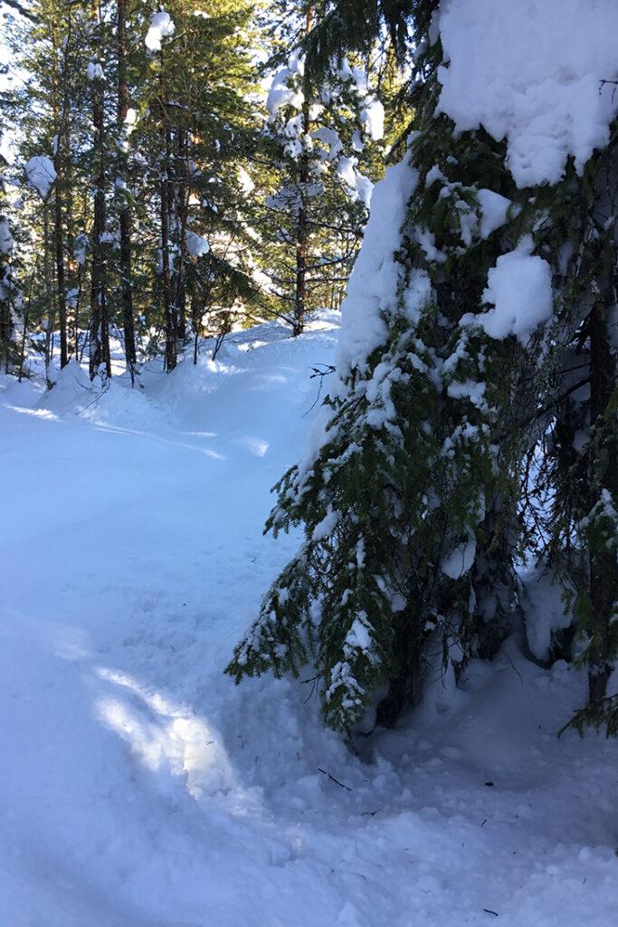 Foto från en solig snötäckt skog.