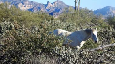Hästar i öknen gräver brunnar