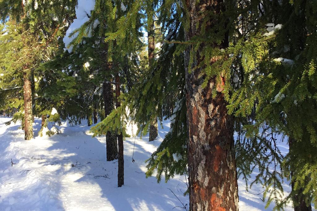 Granar som står i snön.