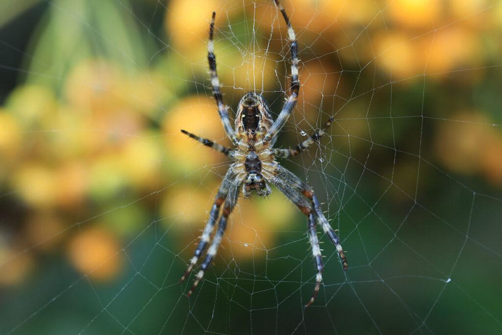 Spindel som sitter i sitt nät.
