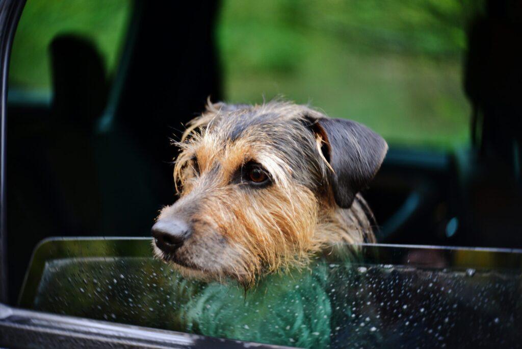 Man ska inte lämna hundar i varma bilar.