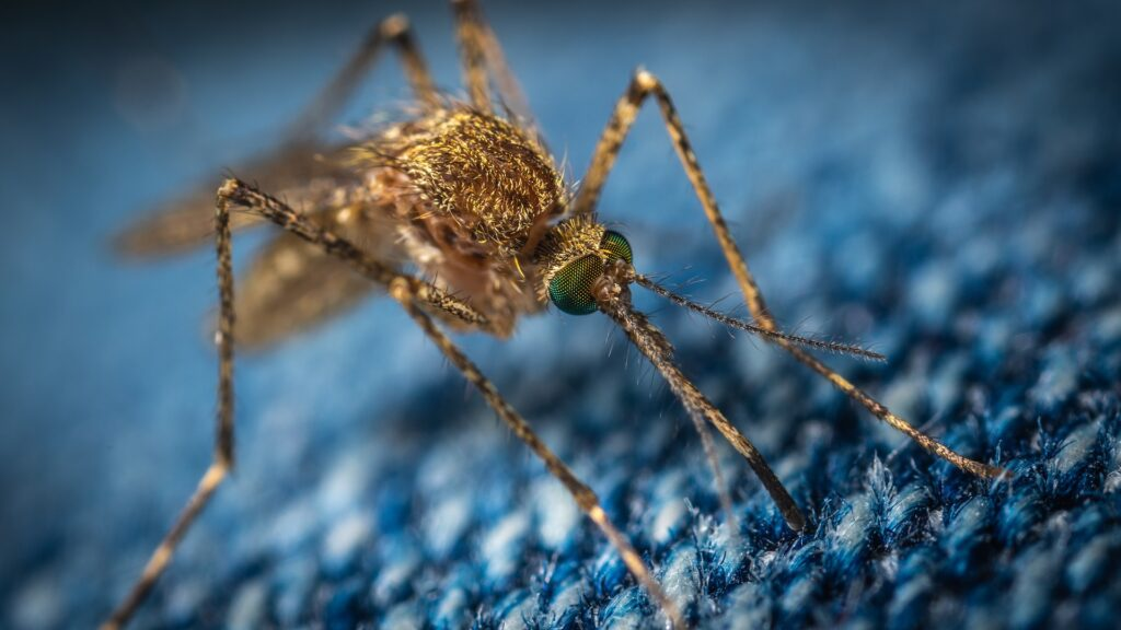 Myggor gillar mörka färger.