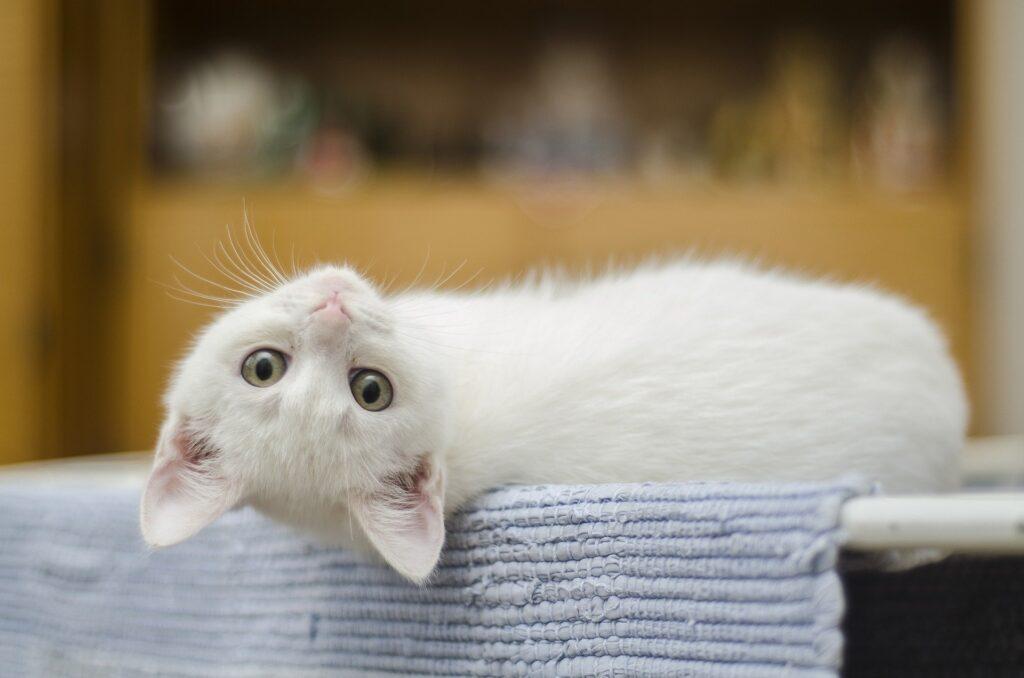 Forskare har undersökt katters jamande.